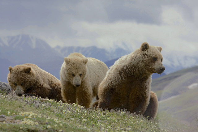 """Grizzly Bear"" (Denali National Park) © Gregory ""Slobirdr"" Smith; Creative Commons license"