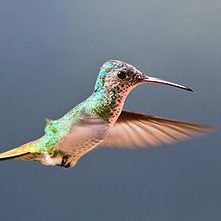 """""""Flying Golden-tailed Sapphire Hummingbird"""" © Marcial4"""