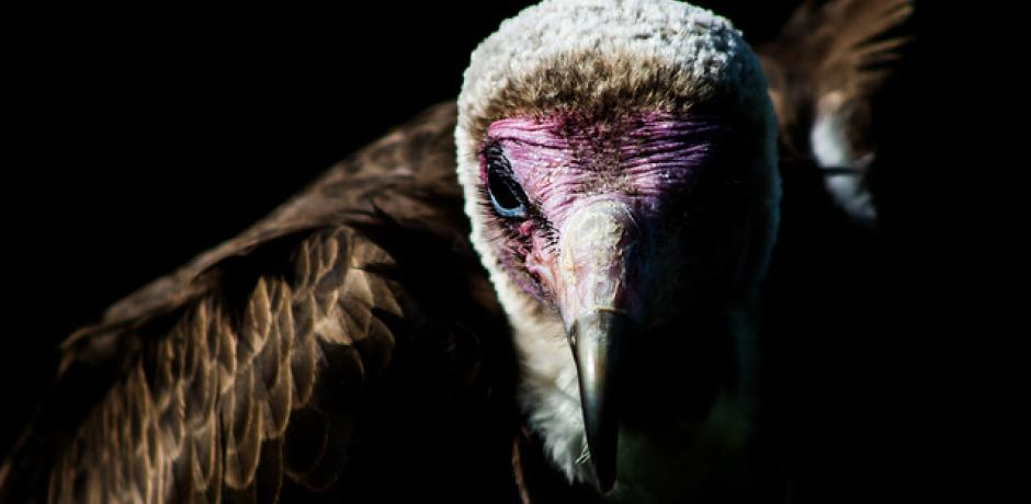 """""""Hooded Vulture"""" © Andrew Tinmouth; Creative Commons license"""